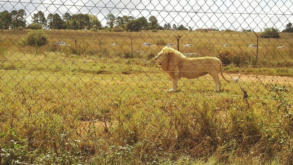 A big male lion