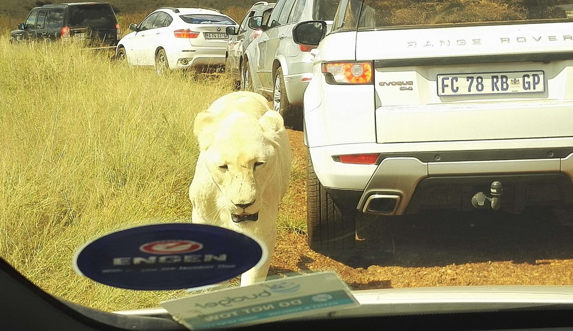 White lioness walking next to my car just a few feet away