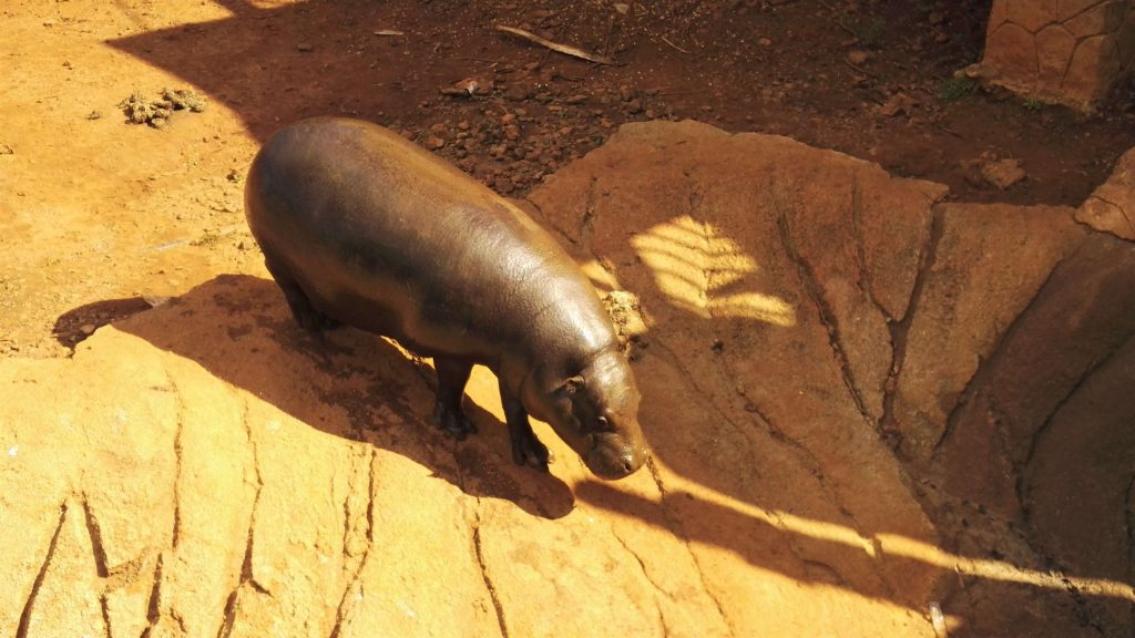 pygmy hippo in his patio