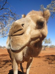 Jake the camel showing his face