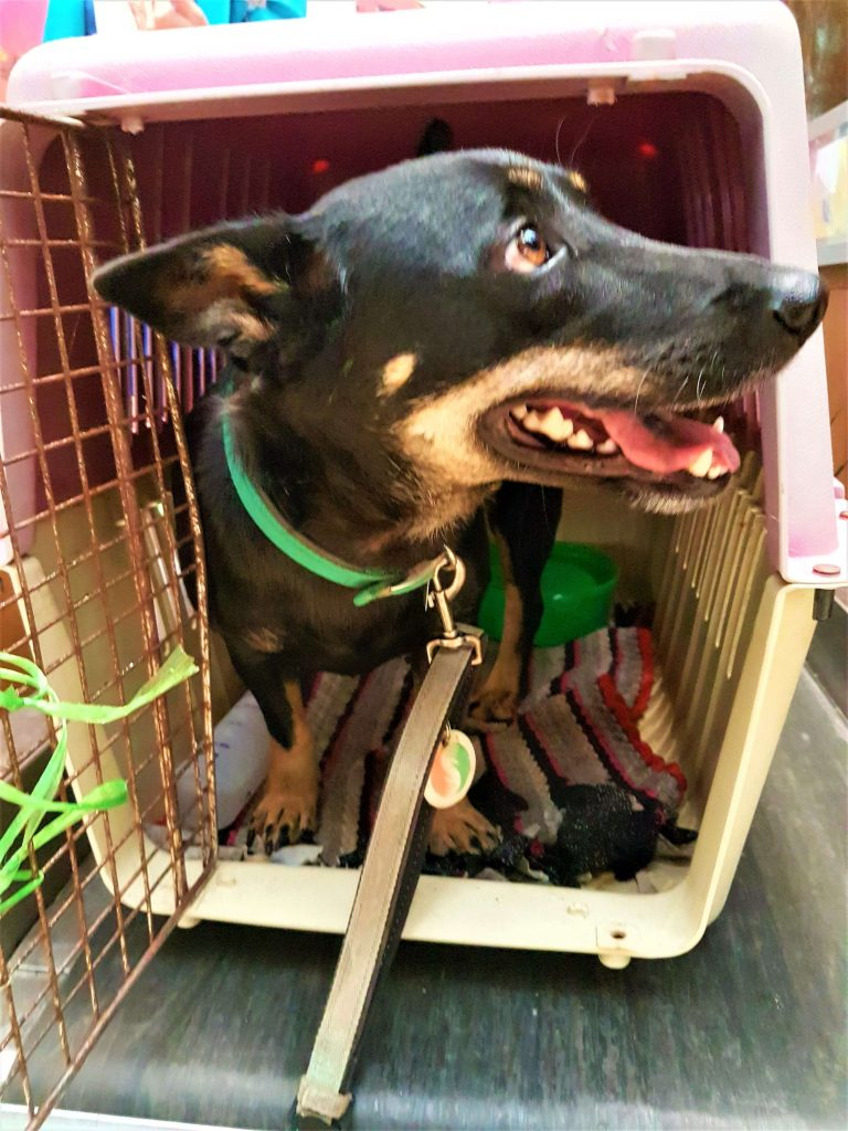 Chase in a crate